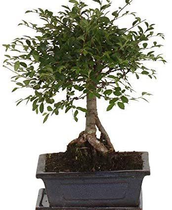 Zelkova Serrata en forme de boule   Bonsaï   Plante tropicale dintérieur   Hauteur 25-30cm   Cache-pot céramique bleu Ø 15cm inclus