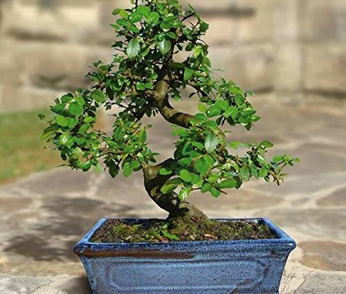 Bonsaï Orme Chinois/Ulmus parviflora. (S forme 9 ans) - 1 arbre