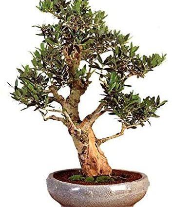 TROPICA - Olivier (Olea europea) - 20 graines- Bonsai