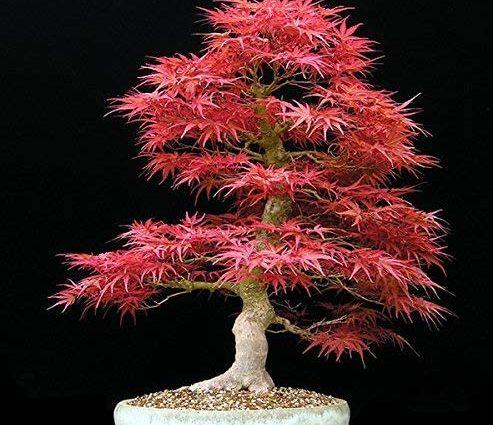 Big Sales !!! 20pcs graines de l'érable bleu chinois rares bonsaï bleu graines d'arbres d'érable Bonsai plantes arbres pour les planteurs de fleurs en pot